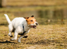 Dog running at high speed like hare at spring field. Jack Russell Terrier racing quickly at spring park Stock Photos
