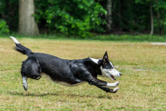 Dog running. Dog hitting the breaks while chasing a ball stock photography