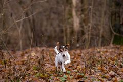 Jack Russell Terrier runs through the thickets in the bare fores stock photo