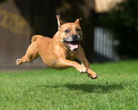 Dog running and leaping. Healthy dog running and leaping on green grass Royalty Free Stock Photos