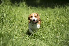 Dog running in the long grass Stock Photo