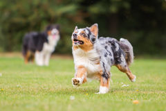 Dog running on the meadow Royalty Free Stock Photos