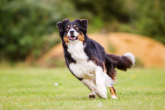Dog running on the meadow Royalty Free Stock Image