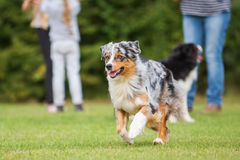 Dog running on the meadow Stock Photos