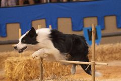 Dog running obstacle course. Close view of a dog running obstacle course, jumping in a festival show royalty free stock photo