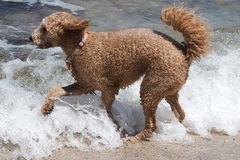Dog running into ocean Royalty Free Stock Images