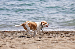 Dog Running On Beach Royalty Free Stock Photos