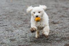 Dog running with orange ball. Small white dog running with orange ball in mouth stock photography