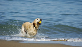 Dog running out of San Francisco Bay 4. A dog is jumping out of San Francisco Bay on a nice fall morning with a yellow ball in its' mouth Royalty Free Stock Photography