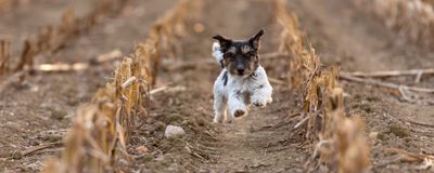 Jack Russell doggy is racing fast over an corn field in autumn. Dog running over harvested corn field in autumn. jack russell terrier 3 years old royalty free stock photos