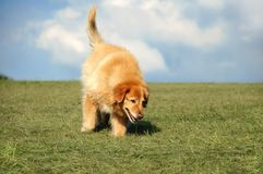 Dog Running in the Park. Golden Retriever mix playing in the park royalty free stock photos