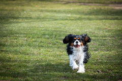 Dog running in a park. Cavalier King Charles Spaniel running on grass in park towards the photographer royalty free stock images