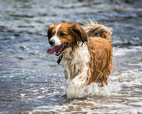 Dog Running and Playing Royalty Free Stock Photography