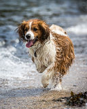 Dog Running and Playing Stock Photo