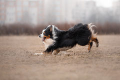 Dog running and playing in the park royalty free stock photo