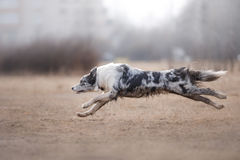 Dog running and playing in the park. Australian Shepherd, Aussie Royalty Free Stock Photos
