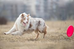 Dog running and playing in the park. Australian Shepherd, Aussie.  royalty free stock image