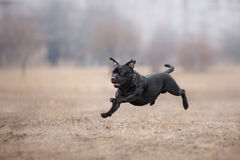Dog running and playing in the park stock images