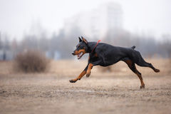 Dog running and playing in the park. Doberman Pinscher dog Stock Images