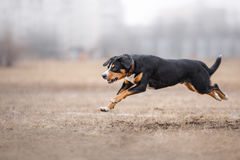 Dog running and playing in the park. Entlebucher Mountain Dog Royalty Free Stock Images