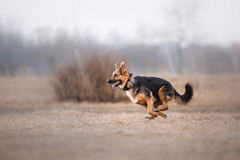 Dog running and playing in the park stock image