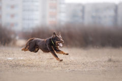 Dog running and playing in the park Royalty Free Stock Images