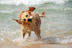 Dog running and playing at the sea. The Mediterranean. Israel. Royalty Free Stock Photos