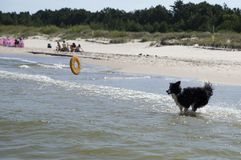Dog running retrieving a toy in the sea stock photography