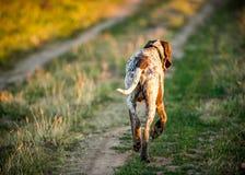 Dog running on road, back view. German shorthaired pointer (Deutscher kurzhaariger), Dog running on road in field, back view Royalty Free Stock Image