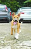 Dog running on the road. happy cute funny dog running on the roa royalty free stock images