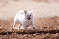 Dog running on sand. Cute white dog running over sand royalty free stock image