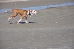 Dog running on the sand Stock Image