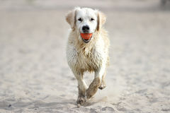 Dog running on sand. Full-length Royalty Free Stock Photos