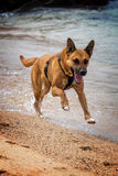 Dog running in the sand Stock Image