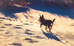 Dog running through sand Stock Image