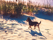 Dog running through sand Stock Photo