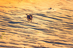 Dog running through sand Royalty Free Stock Photo