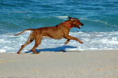 Dog running on sandy beach Royalty Free Stock Image