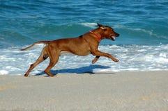 Dog running on sandy beach Royalty Free Stock Image
