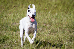 Dog Running Scares Grasshopper Royalty Free Stock Photo