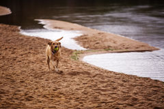 Dog running at a Scottish loch Stock Images