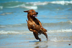 Dog running in sea Stock Photography
