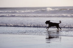 Dog running at sea. A dog running at sea with big waves in the background Royalty Free Stock Image