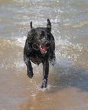 Dog Running in Sea Stock Image