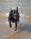 Dog Running in Sea. Black Labrador Having Fun Vitality Energy Motion Happy Stock Image