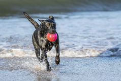 Dog running in sea carrying ball. Black Labrador dog fetching a ball on the beach, running towards camera with copy space Royalty Free Stock Photo