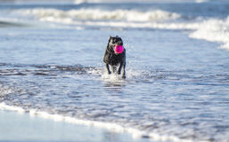 Dog running in sea carrying ball. Black labrador dog running towards camera in the sea carrying a ball Stock Images