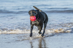 Dog running in sea carrying ball, with copy space. Black Labrador dog fetching a ball on the beach, running towards camera with copy space Stock Photography