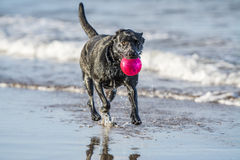 Dog running in sea carrying ball, with copy space. Black labrador dog running towards camera in the sea carrying a ball Royalty Free Stock Photo
