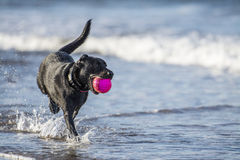 Dog running in sea carrying ball, with copy space. Black labrador dog running towards camera in the sea carrying a ball Royalty Free Stock Photos